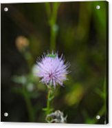 Thistles Morning Dew Acrylic Print