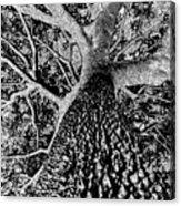 Thorn Tree Black And White Acrylic Print