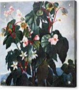 Thornton: Begonia Acrylic Print