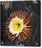 Thornton: Cereus Acrylic Print