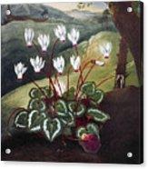 Thornton: Cyclamen Acrylic Print