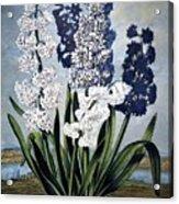 Thornton: Hyacinths Acrylic Print