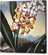 Thornton: Shell Ginger Acrylic Print