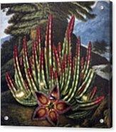Thornton: Stapelia Acrylic Print