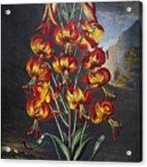 Thornton: Superb Lily Acrylic Print