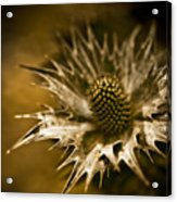 Thorny Crown Acrylic Print