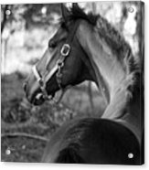 Thoroughbred - Black And White Acrylic Print