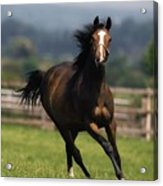 Thoroughbred Horses, Yearlings Acrylic Print by The Irish Image Collection