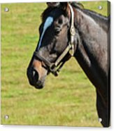 Thoroughbred Portrait Three Acrylic Print