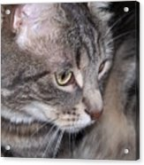 Thoughtful Holly The Cat Acrylic Print