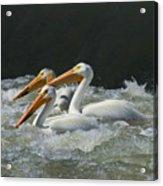 Three American Pelicans Acrylic Print