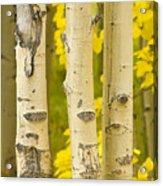 Three Autumn Aspens Acrylic Print