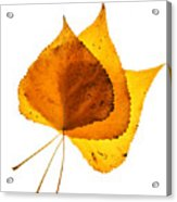 Three Backlit Cottonwood Leaves In Autumn On White Acrylic Print