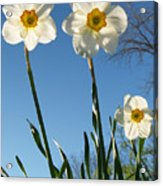 Three Backlit Jonquils From Below Acrylic Print