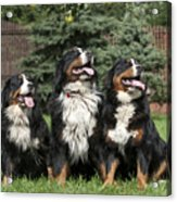 Three Bernese Mountain Dog Portrait Acrylic Print