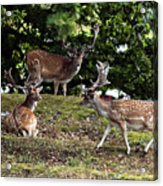 Three Bucks Acrylic Print