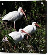 Three Buddies - White Ibis Acrylic Print