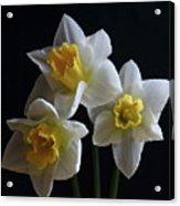 Three Daffodil Acrylic Print