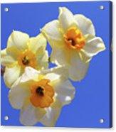 Three Daffodils Acrylic Print