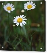 Three Daisy's Acrylic Print