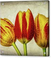 Three Dew Covered Tulips Acrylic Print