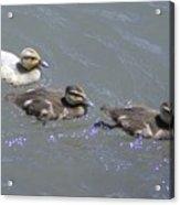 Three Duckies  Acrylic Print