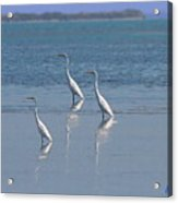 three Egrets Acrylic Print