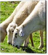 Three Ewes Acrylic Print