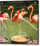 Three Flamingos Acrylic Print