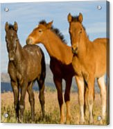 Three Foals Acrylic Print