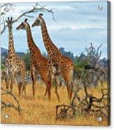 Three Giraffes Acrylic Print