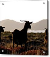 Three Goats Acrylic Print