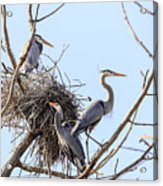 Three Herons Acrylic Print