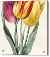 Three Lily Tulips  Acrylic Print