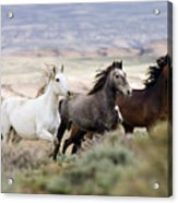 Three Mares Running Acrylic Print by Carol Walker