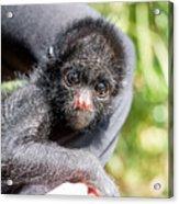 Three Month Old Spider Monkey Acrylic Print