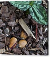 Three Nuts For A Trillium Acrylic Print