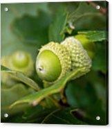 Three Oak Acorns Acrylic Print