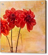 Three Orange Dahlias Acrylic Print by Rebecca Cozart