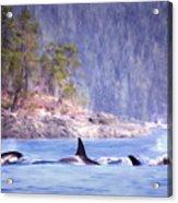 Three Orca Whales Acrylic Print