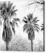 Three Palms Acrylic Print