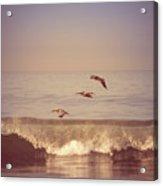 Three Pelicans Acrylic Print
