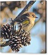 Three Pine Cones And A Little Bird Acrylic Print