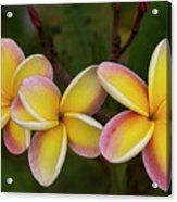 Three Pink And Yellow Plumeria Flowers - Hawaii Acrylic Print