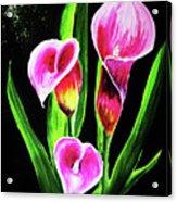 Three Pink Calla Lilies. Acrylic Print