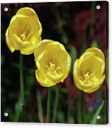 Three Pretty Blooming Yellow Tulips In A Garden Acrylic Print