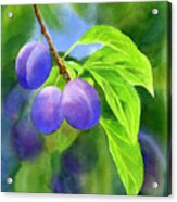 Three Purple Plums With Background Acrylic Print