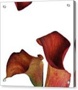 Three Rust Calla Lilies Acrylic Print