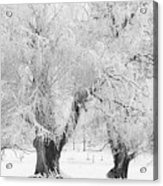 Three Snow Frosted Trees In Black And White Acrylic Print