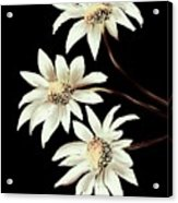 Three Spring Daisies Acrylic Print